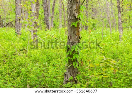 Virginia creeper climbing the trunk of a shagbark hickory tree in a Missouri forest. - stock photo