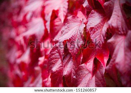 Virginia Creeper on the side of a house. Shallow depth of field. This plant goes red in Autumn and is green in spring/summer. Looks beautiful on a large area of brickwork. - stock photo
