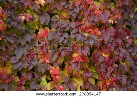 Virginia Creeper's leaves. Autumn colorful leaves. Yellow to dark leaves. - stock photo