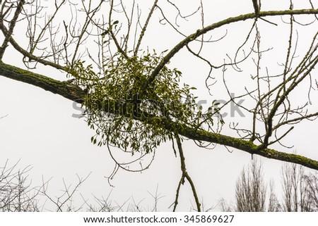 Viscum album (European mistletoe, common mistletoe, mistletoe, Old English mistle, Viscum album subsp. album) - stock photo