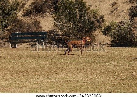 Visla mix dog playing with a ball at a dog park - stock photo