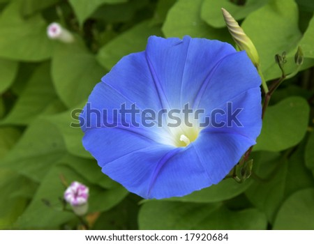 vivid blue perennial that blooms in the morning and dies by the end of the day.  Tomorrow's bloom is still uncoiled next to the beautiful blue specimen.  Yesterday's are on the left - stock photo