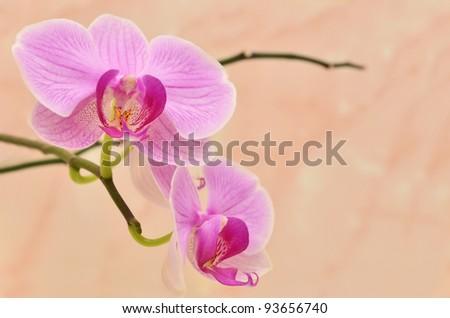 Vivid branch of velvet orchid flowers on beige background - stock photo