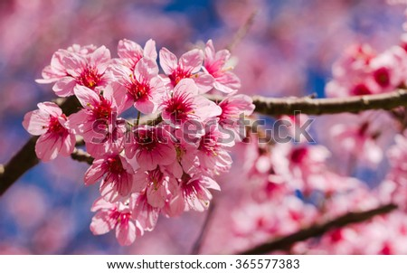 Vivid color of Cherry Blossom or Sakura flower on blue sky background soft focus. - stock photo