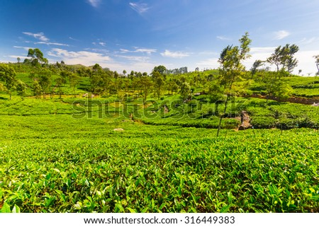 Vivid green tea crop landscape in Haputale, one of the most visited landmark in Sri Lanka. Wide angle shot in a bright day of summer with clear blue sky. - stock photo