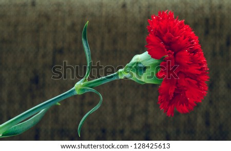 Vivid red carnation isolated - stock photo
