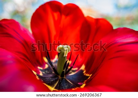 Vivid red huge spring tulip flower filling the whole picture close up macro image - stock photo