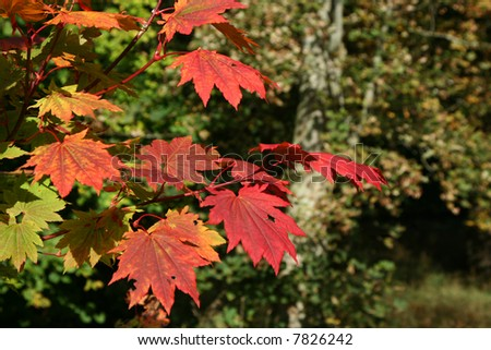Vivid red leaves of the Japanese maple tree (Acer palmatum) - stock photo