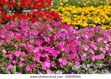 vivid summer flower bed of petunias - stock photo