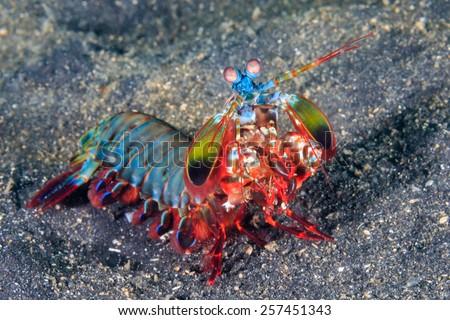 Vividly colored Peacock Mantis Shrimp on a black sandy seabed - stock photo
