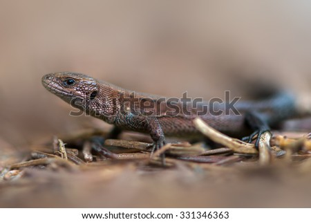 Viviparous lizard - Zootoca vivipara - stock photo