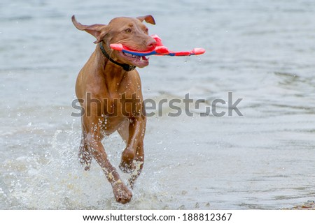 Vizsla hunting dog at play in the water - stock photo