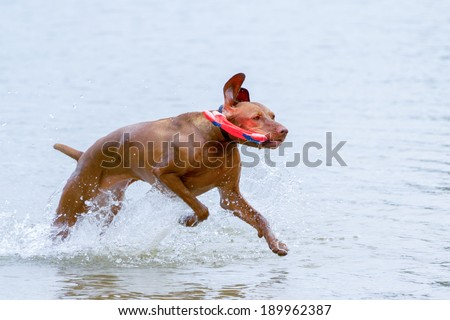 Vizsla hunting dog playing in the water - stock photo