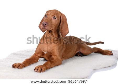 Vizsla puppy on a white background - stock photo