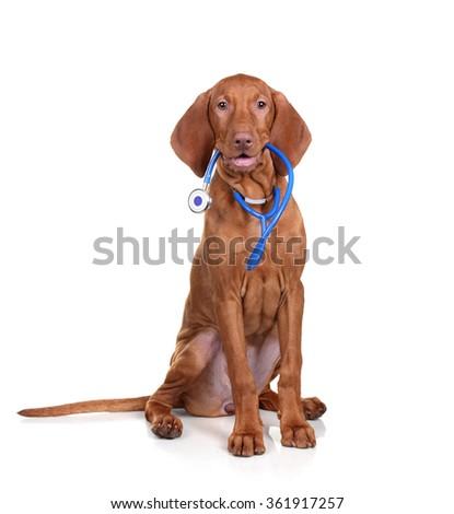 Vizsla puppy with a phonendoscope on a white background - stock photo