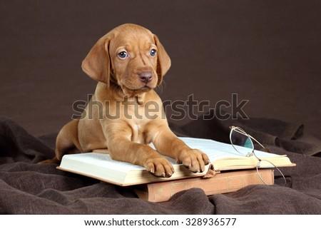 Vizsla puppy with books - stock photo