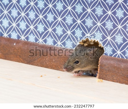 Vulgaris house mouse (Mus musculus) gets into the room through a hole in the wall - stock photo
