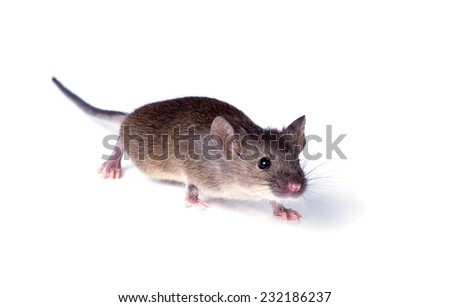 Vulgaris house mouse (Mus musculus) sneaks up on white background - stock photo