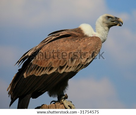 vulture - stock photo
