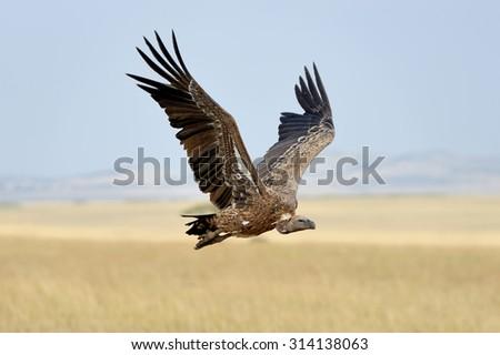 Vulture flying. Masai Mara National Park, Kenya - stock photo