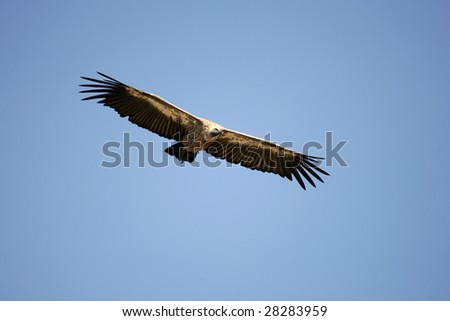 Vulture gliding down to kill to feed - stock photo