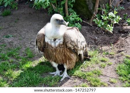 Vulture gyps fulvus - stock photo