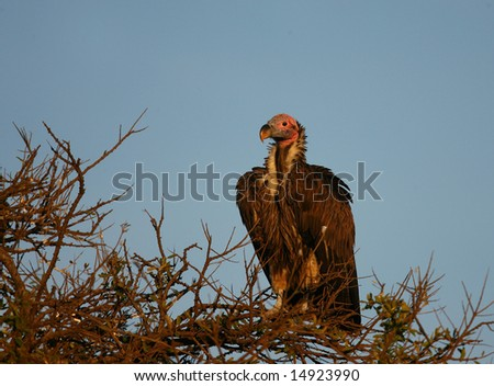 Vulture in tree in the morning sun - stock photo