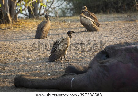 Vultures eating a dead elephant in Africa - stock photo