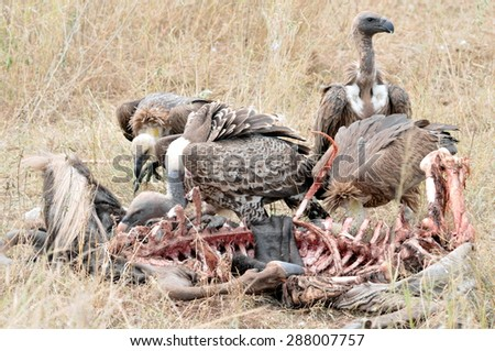 Vultures feed on wildebeest carcass - stock photo