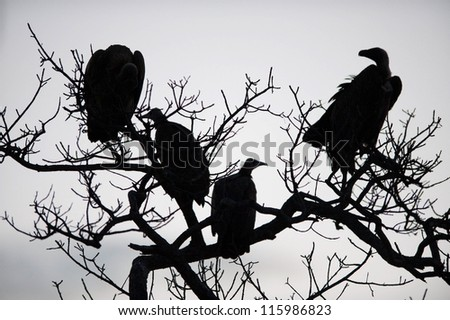 Vultures in a tree near Kruger National Park - stock photo