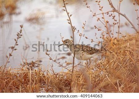 Wader, wood sandpiper (Tringa glareola) on lake shore and catkin at spring willows - stock photo