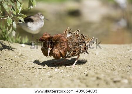 Wading Bird, The ruff (Philomachus pugnax) male in courtship - stock photo