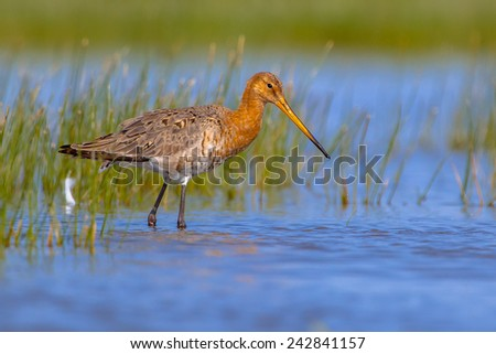 Wading Black-tailed Godwit (Limosa limosa) in shallow water on a sunny day. This is one of the wader bird target species in dutch nature protection projects - stock photo
