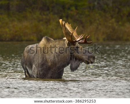 Wading For Breakfast - A bull moose wades out into a pond and eats the vegetation from the bottom of the pond. Sandy Stream Pond, Baxter State Park, Maine. - stock photo