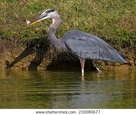 wading great blue heron with fish on bank - stock photo