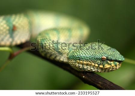 Wagler's pit viper (Tropidolaemus wagleri) - stock photo