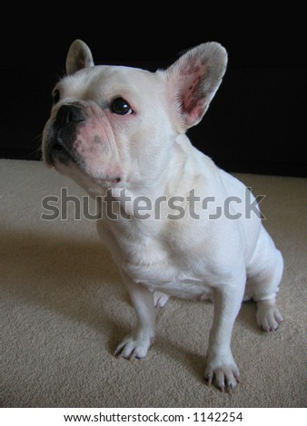 Waiting for a delicious award -Sheila the French Bulldog - stock photo