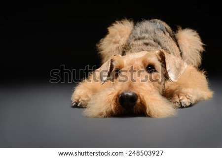 Waiting to go for a walk. Portrait of black brown Airedale Terrier dog lying on the floor isolated on black background - stock photo