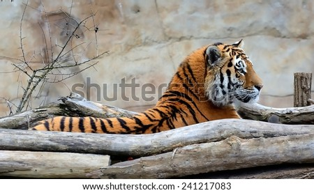 Waking up Siberian Tiger (Panthera tigris altaica).  - stock photo