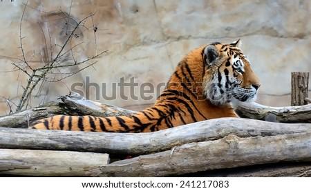 Waking up Siberian Tiger (Panthera tigris altaica).  - stock photo