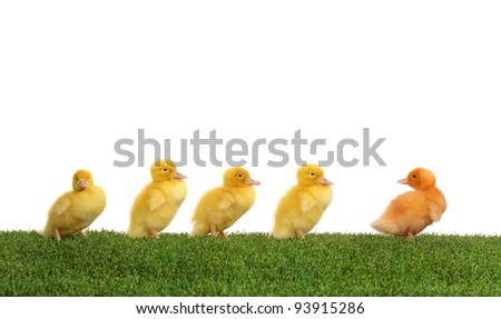Walk five ducklings following their leader - stock photo