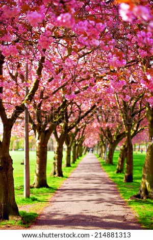 Walk path surrounded with blossoming plum trees at Meadows park, Edinburgh. Colorful spring landscape - stock photo