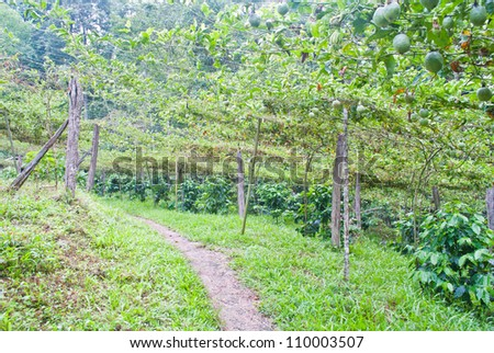 Walk way in the passion fruit and coffee garden - stock photo