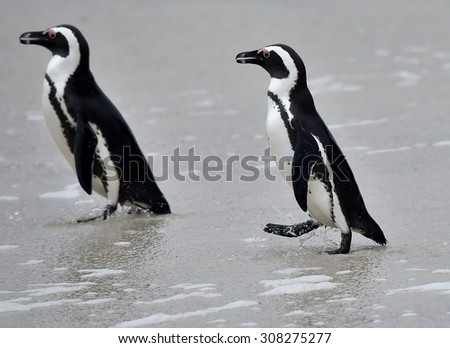Walking African penguins (spheniscus demersus), also known as the jackass penguin and black-footed penguin is a species of penguin Boulders colony in Cape Town, South Africa.  - stock photo