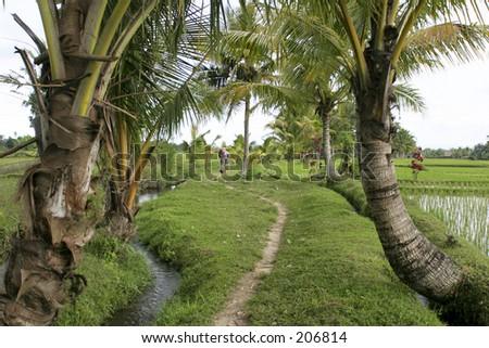 Walking among ricefields near Ubud, Bali - stock photo
