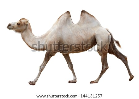 Walking camel isolated on a white background - stock photo