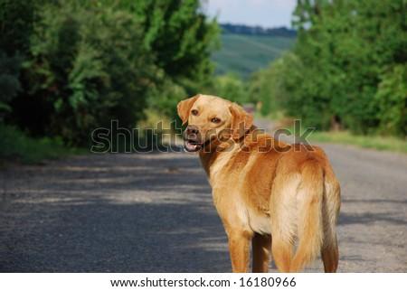 walking dog on the road - stock photo