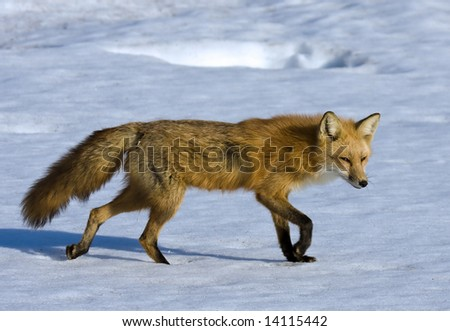 Walking fox - stock photo