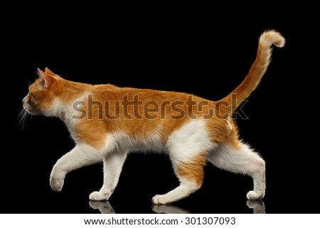 Walking Ginger Cat in Profile view on Black Mirror background  - stock photo