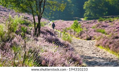 Walking in a flowering heathland - stock photo